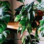 Buying Plants Online: Indoor Plant Delivery in Australia